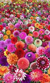 Flower of the month september: Dahlia